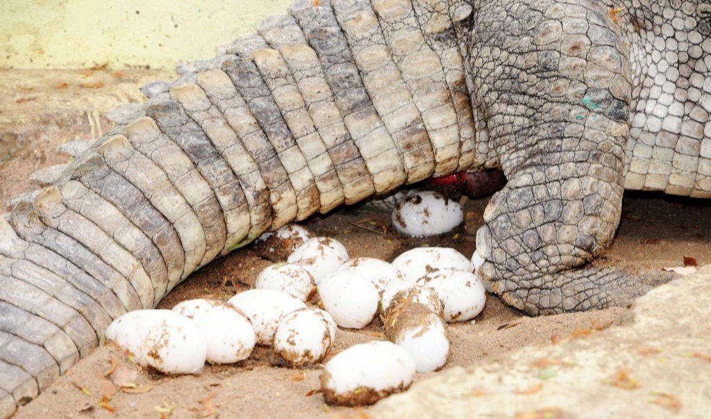 кладка современного крокодила