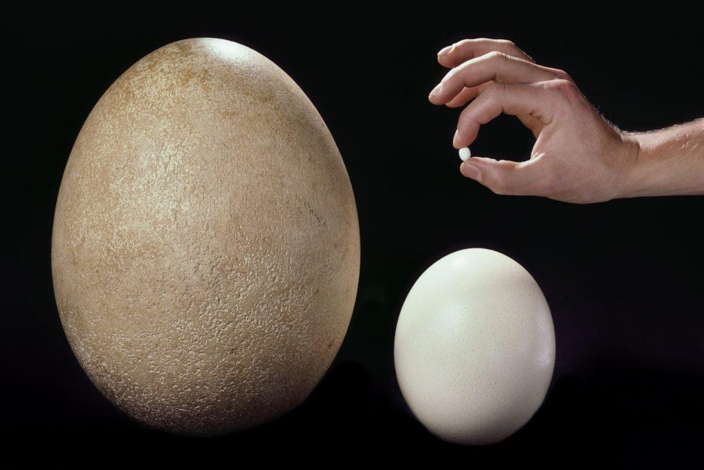 яйцо эпиорниса и страусиное