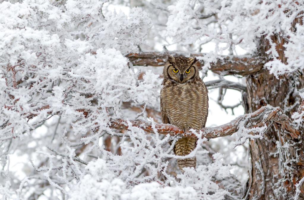 сова зимой