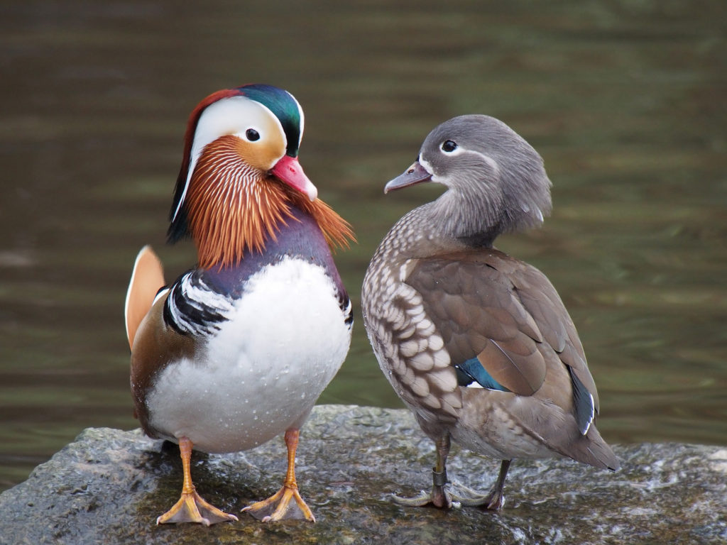самец и самка утки-мандаринки