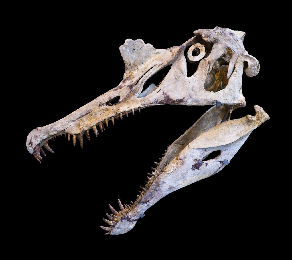череп спинозавра