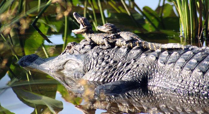 много картинка крокодила и его детеныша этого