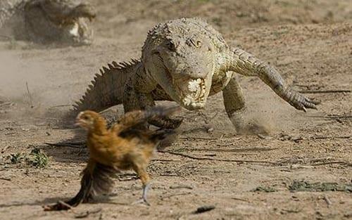 крокодил гонится за курицей