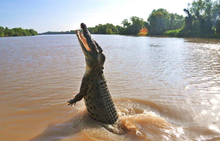 крокодил выпрыгивает из воды
