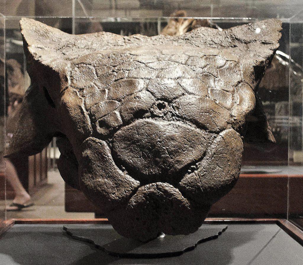 череп анкилозавра
