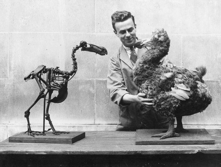 Скелет птицы Додо