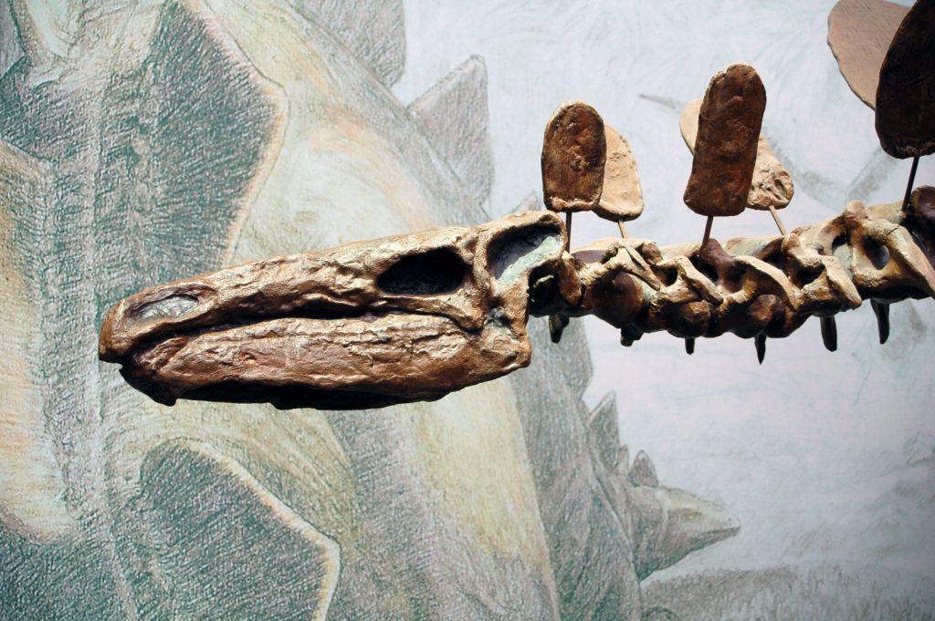 череп стегозавра