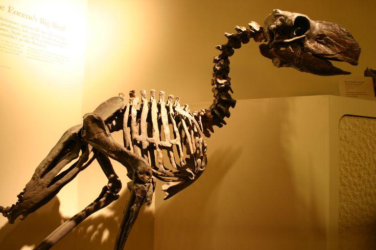 скелет гасторниса (скелет диатримы)